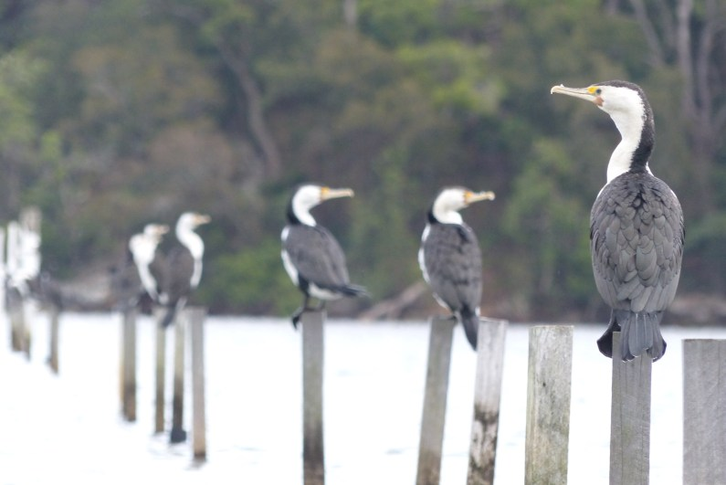 Pied cormorants on oyster poles
